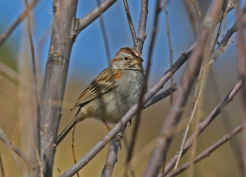 Rufous Winged Sparrow1-1