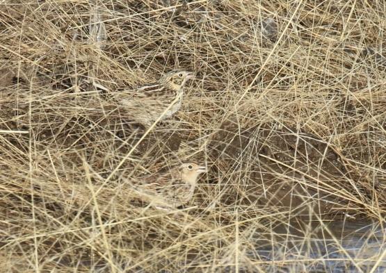 Sparrows1-1