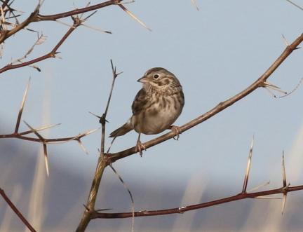 Vesper Sparrow1-1