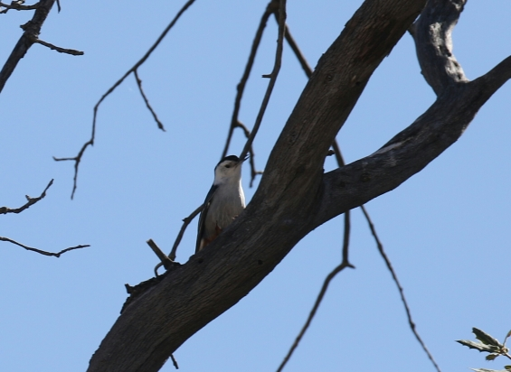 White Breasted Nuthatch-1