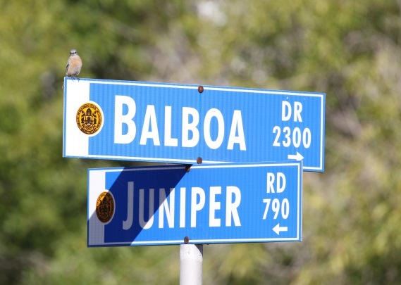 Balboa Park Bluebird
