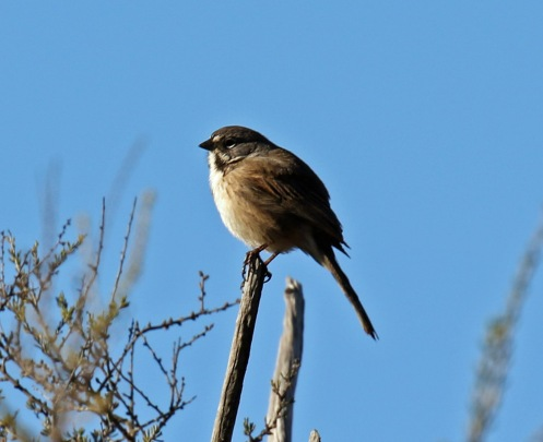 Bell's Sparrow4
