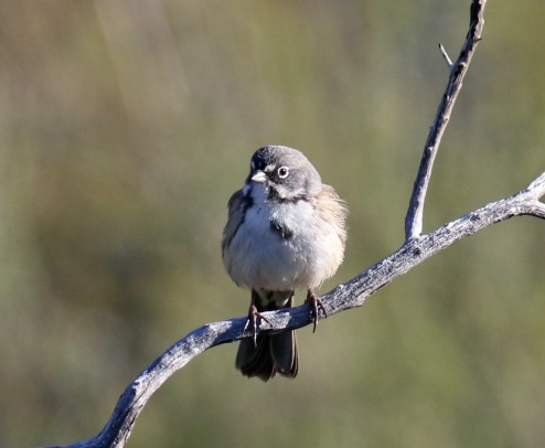 Bell's Sparrow5