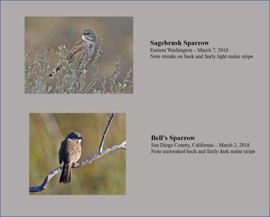 Bell's vs Sagebrush Sparrows