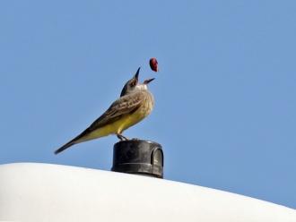 Cassin's Kingbird Tossing Berry