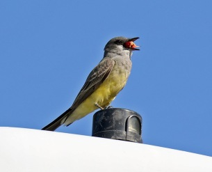 Cassin's Kingbird with Berry1