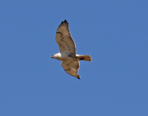 Ferruginous Hawk Flight