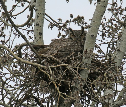 Great Horned Owl2