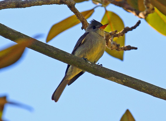 Greater Pewee1