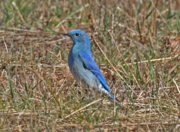 Mountain Bluebird Darrington