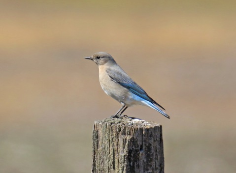 Mountain Bluebird on Post