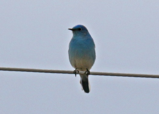 Mountain Bluebird1