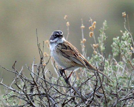 Sagebrush Sparrow3