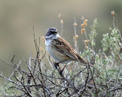 Sagebrush Sparrow3