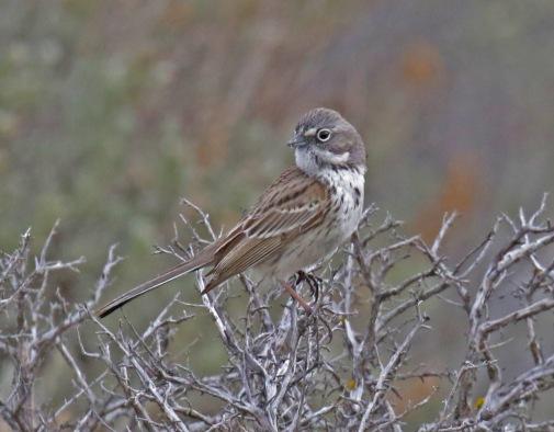 Sagebrush Sparrow6