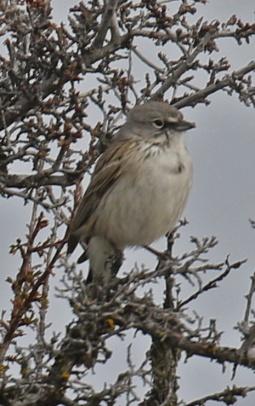 Sagebrush SparrowV