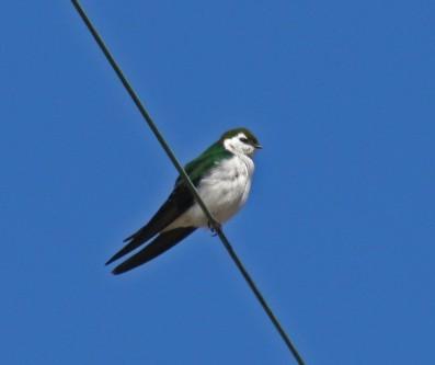 VG Swallow Darrington