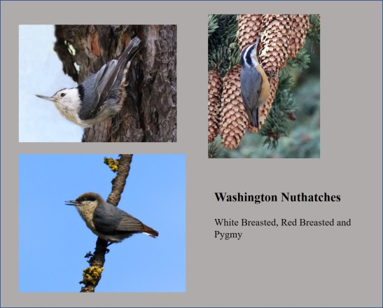 Washington Nuthatches