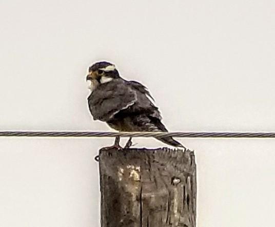 Aplomado Falcon Cropped