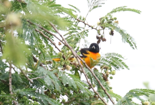 Baltimore Oriole 7