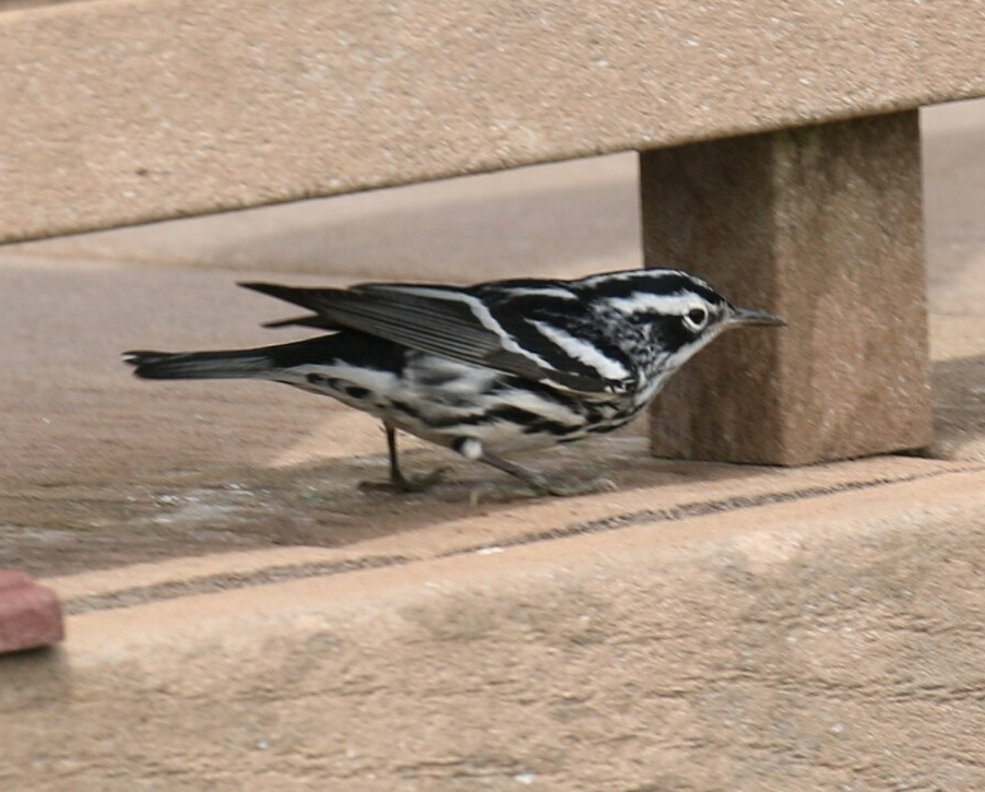 black-and-white-warbler-deck.jpg