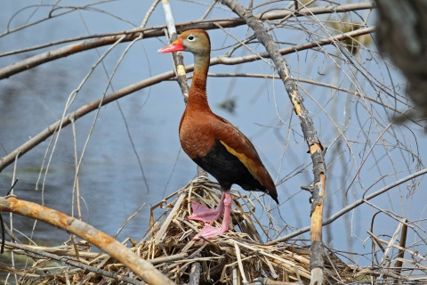 Black Bellied Whistling Duck B