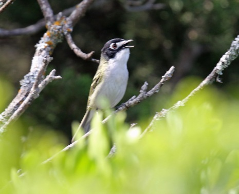 Black Capped Vireo Singing