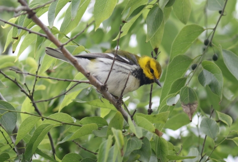 Black Throated Green Warbler 1