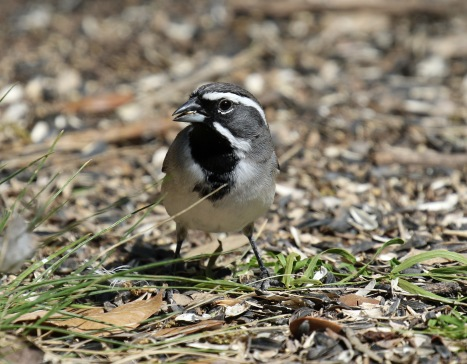 Black Throated Sparrow B