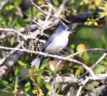 Blue Gray Gnatcatcher Singing