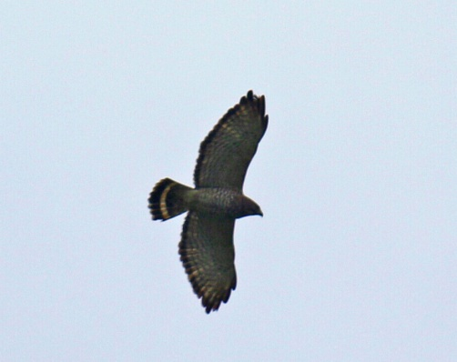 Broad Winged Hawk4