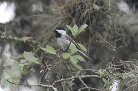 Carolina Chickadee .jpg