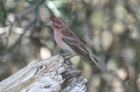 Cassin's Finch2 - Copy
