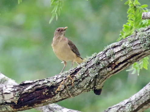 Clay Colored Thrush1