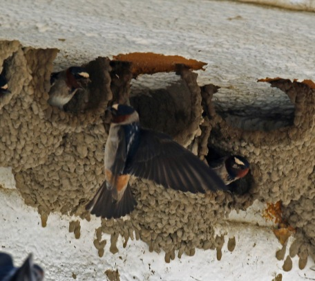 Cliff Swallows at Nests