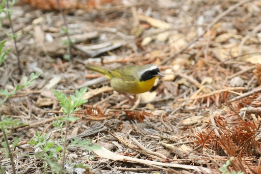 Common Yellowthroat2 - Copy