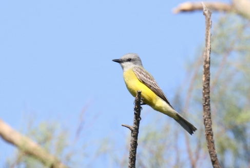 Couch's Kingbird 5