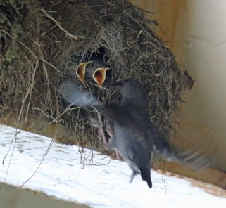 Dipper at Nest
