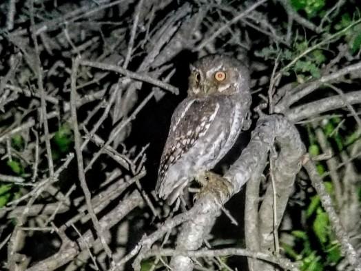 Elf Owl 3