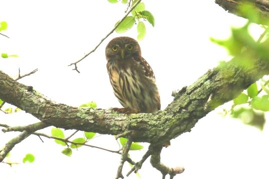 Ferruginous Pygmy Owl 1
