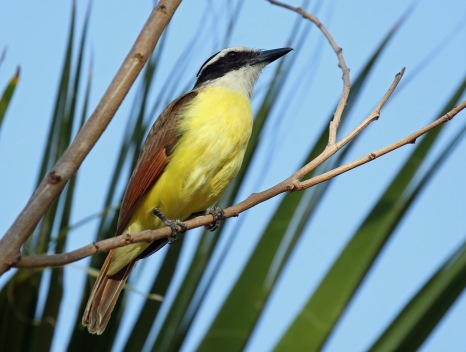 Great Kiskadee B