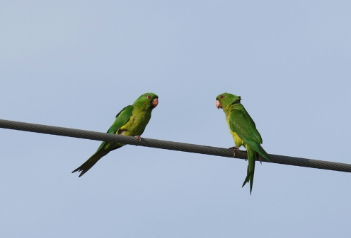 Green Parakeets 1