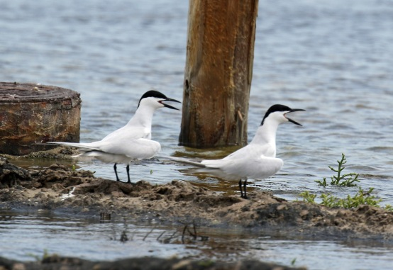 Gull Billed Terns Calling