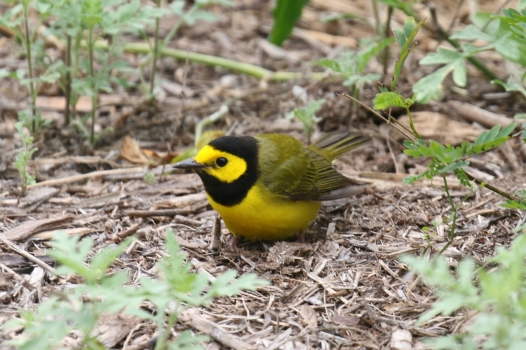 Hooded Warbler 3 - Copy