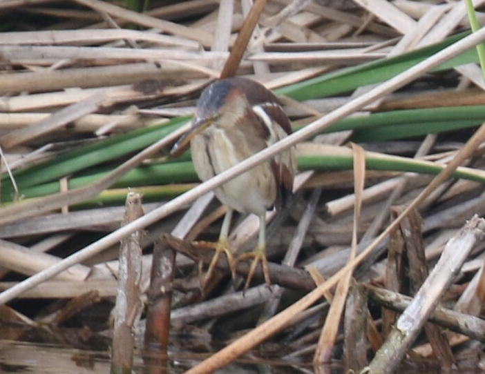 Least Bittern - Copy