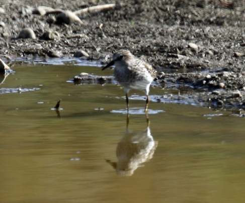 Least Sandpiper Kittitas3