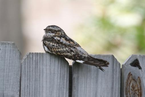 Lesser Nighthawk 2