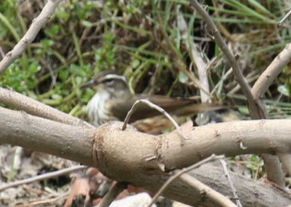 Louisiana Waterthrush 2