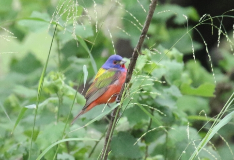 Painted Bunting - Copy
