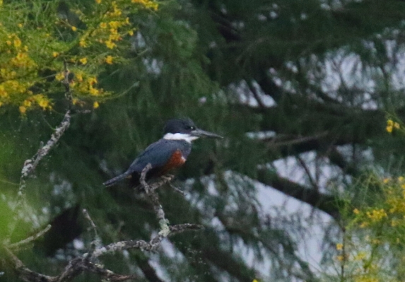 Ringed Kingfisher 1